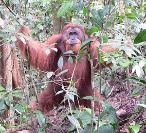 wild orangutans, I wasn't sure I'd find a single one of the red apes