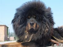 LOOK AT THIS TIBETAN MASTIFF!!! I KNOW, FROM NOW ON THEY WILL BE