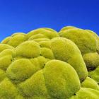 Media Serving - Tumbuhan bunga hijau yang mungkin berusia lebih 3,000 tahun