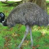 Emu 4