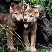 And In The World Red Wolf The Red Wolf Is Put About 66 79 Cm 26