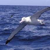 Albatross 8
