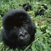 Mireia Vilà Ruiz: The Mountain Gorilla: An Endangered Animal
