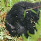 Picture 3 Of 3 - Pictures And Images - Mountain Gorilla (Gorilla