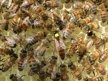 Queen bee and her court. Courtesy The Food and Environment Re