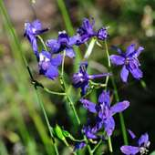 How To Grow Larkspur Plants In The Garden