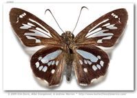 Phanus ecitonorum (pinned specimens)