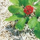 Ginseng Plant image by Photos by Katharina Lohrie /commons wikimedia