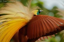 Islands Indonesia Greater Bird Of Paradise | Foto Artis  Candydoll