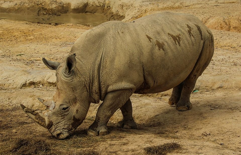 The world's last male northern white rhino is now on Tinder to help sustain the species