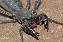 4Whip Scorpions