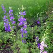 That I'm Going To Talk About One Of My Successes: Larkspur