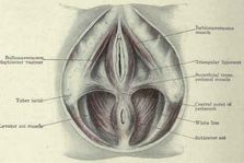 Fig  467   Female perineum