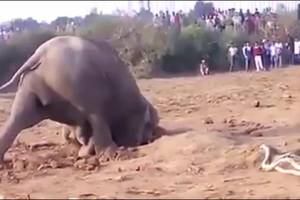 Jumbo the Mother elephant spends 11 hours digging her baby out of a well…