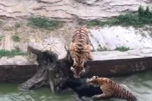 Horrible: Chinese Zoo Workers Push A Terrified Donkey Into The Jaws On 3 Tigers!