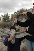 falco peregrinus tundrius and prairie falcon falco  Falko Videos