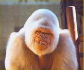 Snowflake the Gorilla | Flickr  Photo Sharing!