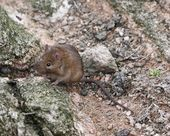 Siberian House Mouse | Flickr  Photo Sharing!