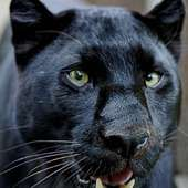 Black Panther (Leopard) | Flickr - Photo Sharing!