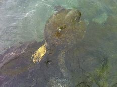 Swimming Naked with 'Honu' (Sea Turtles) ~