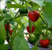 cherry popper peppers | Flickr  Photo Sharing!