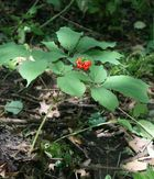 Wild American ginseng plant | Flickr  Photo Sharing!