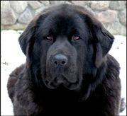 Ravenfemale Tibetan mastiff