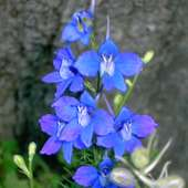 Larkspur (Consolida Ajacis) | Flickr - Photo Sharing!
