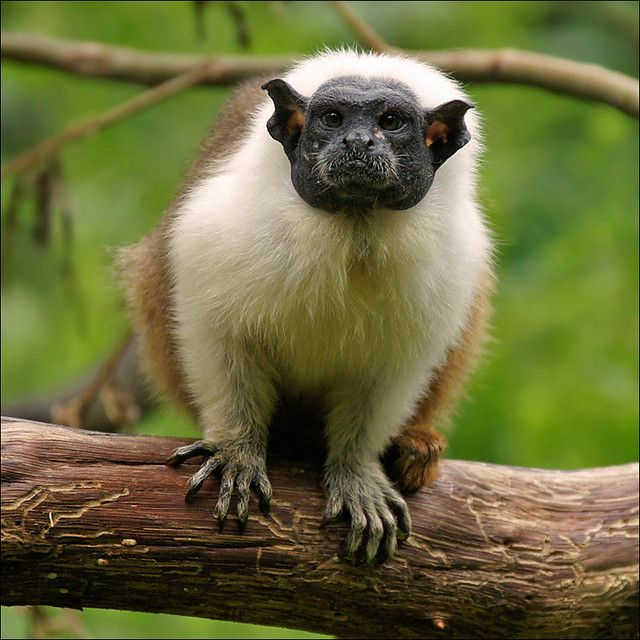 Brazilian Bare Faced Tamarin