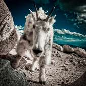 Colorado Mountain Goat (Charge) | Flickr - Photo Sharing!