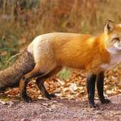 Care Sheets - Foxes Are Amazing