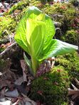 Skunk Cabbage, Symplocarpus foetidus, with newly opened basal rosette
