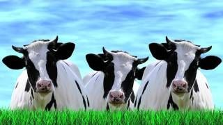 L Amour Vache French