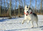 3yr old purebred Siberian Husky- Needs new home