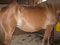 Pregnant Mare Vulva http://www horsegroomingsupplies com/horseforums