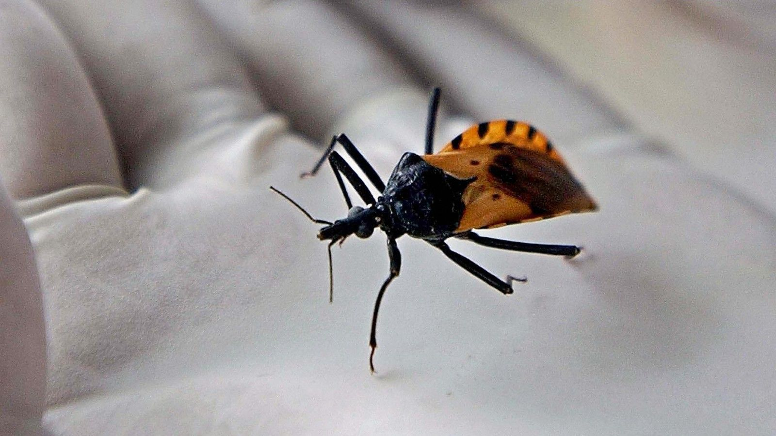 'Kissing bug' disease more deadly than thought
