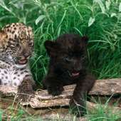 Black Baby Panther Cubs Twins Graphics Code | A Spotted And A Black