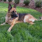 German Shepherd Dog Image | German Shepherd Dog Picture Code