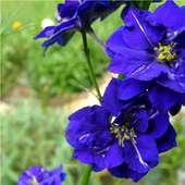 Larkspur Blooms! - Cottage Garden Forum - GardenWeb