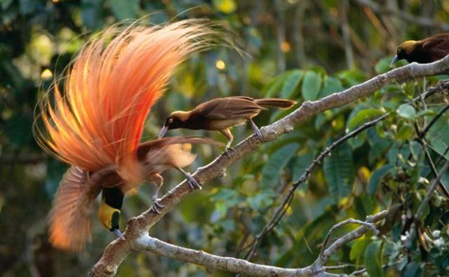 Paradiae Birds