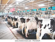 Row Of Cows Being Milked Stock Photo 79216624 : Shutterstock