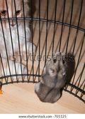 siberian hamster stock photo 701125  Siberian Mouse Iamages « Photo