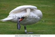 Male Swan Stock Photo 52996630 : Shutterstock