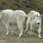 Mountain Goats. (Photo : Flickr Auntie Rain)