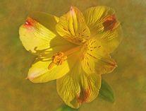 Sandi OReilly  Peruvian Lily