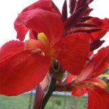 Red Canna Lily Photograph by Sandi Floyd  Red Canna Lily Fine Art