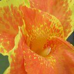 Canna Lily Photograph  Orange And Yellow Canna Lily Fine Art Print