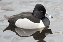 male Ringnecked Duck Following is a female Ringnecked Duck and a