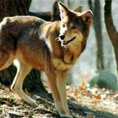Image - Red Wolf.jpg - Wolves Of The Beyond Wiki