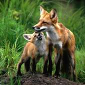 Mom And Baby Foxes - Fox Photo (24577048) - Fanpop Fanclubs